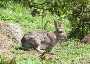 Rabbit1a