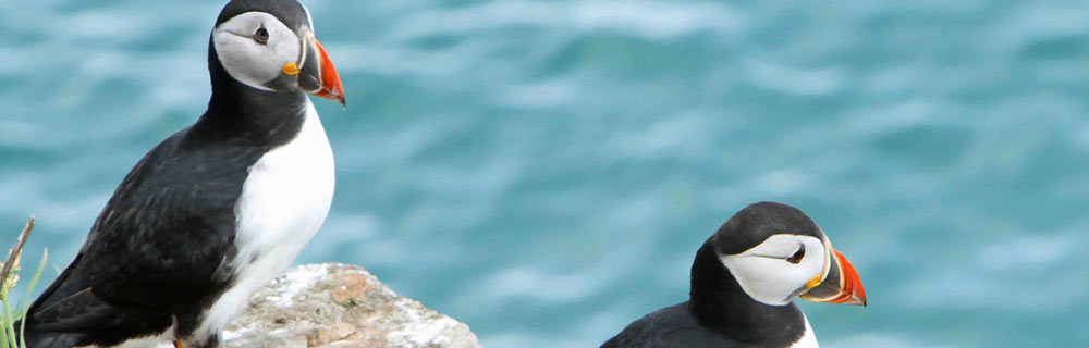 Puffins on Skomer are on show from April to July